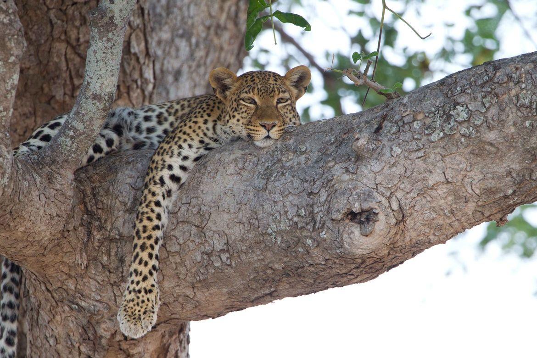 Leopard by Michel Bieler-Loop on 500px