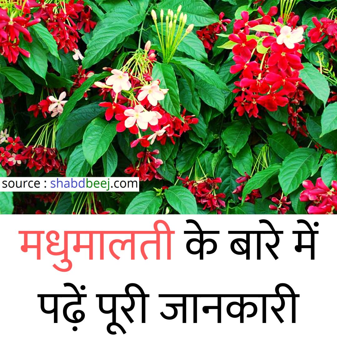 मध म लत क ब ल क स लग य इसक फ यद ज न Rangoon Creeper In Hindi Hibiscus Plant Natural Health Tips Health Tips