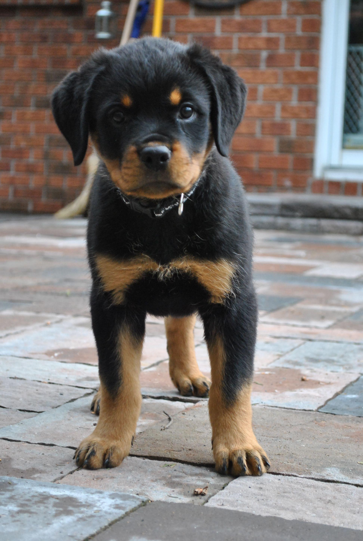Rottweiler Puppy Michonne Rottweiler Dog Training Http