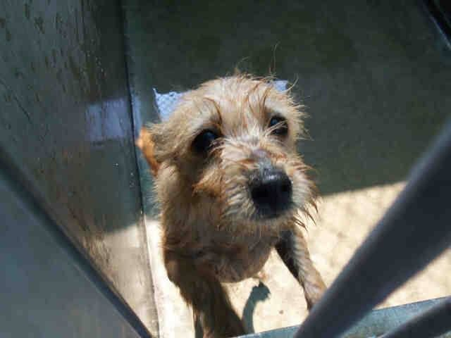 Special Needs A1261441 Neutered Male Brown Cairn Terrier Mix