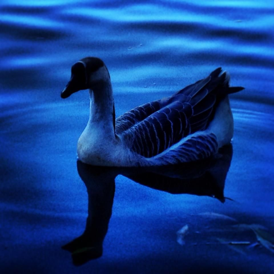A Goose I captured recently at our Civic Center Park - liked the low light mood, which I enhanced with the Snapseed App