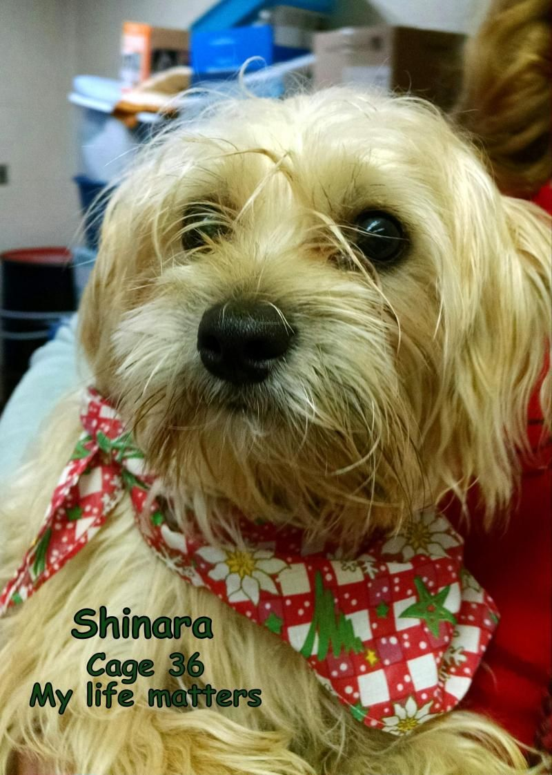 Adopt 36 Shinara/Adopted on Adoption, Terrier dogs, Dogs