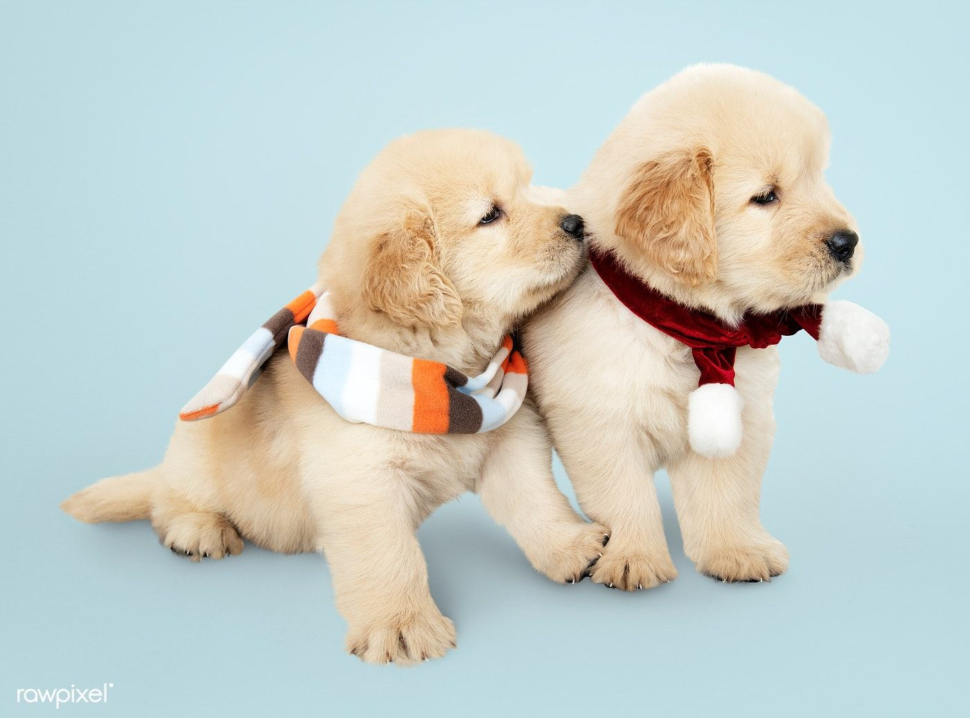 Download Premium Image Of Two Golden Retriever Puppies Wearing