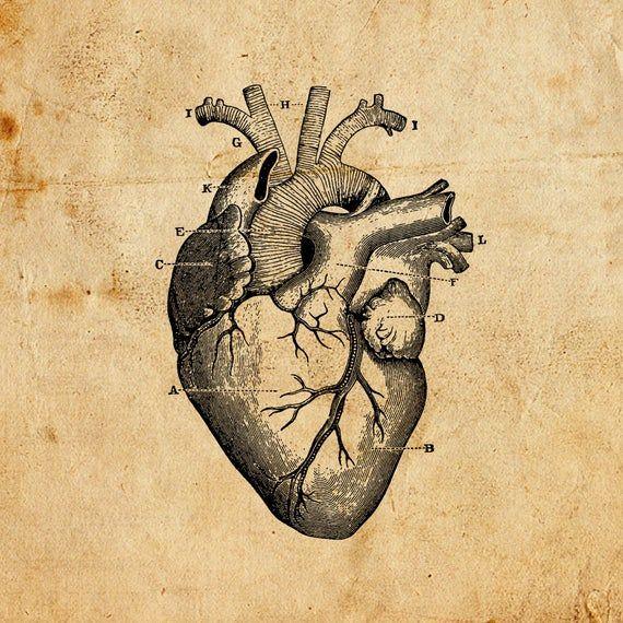 Vintage Heart Vector Png Jpeg Digital Download Art Print T Shirts Merchandise Old Illustration Diagram Medical Anatomy Antiqued Wall Art Antique Artwork Heart Illustration