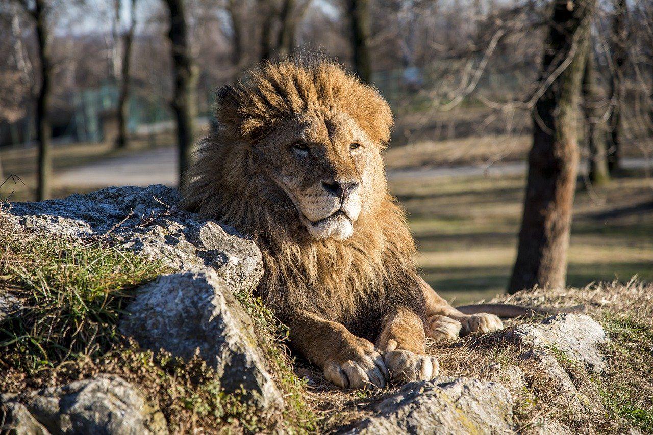 Free Image On Pixabay Lion Animal Wild Animals Lion Boomer Travel
