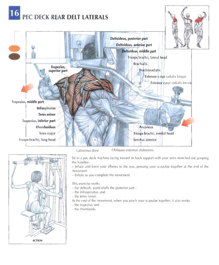 Pec deck rear delt laterals   Training Anatomy (Shoulders ...