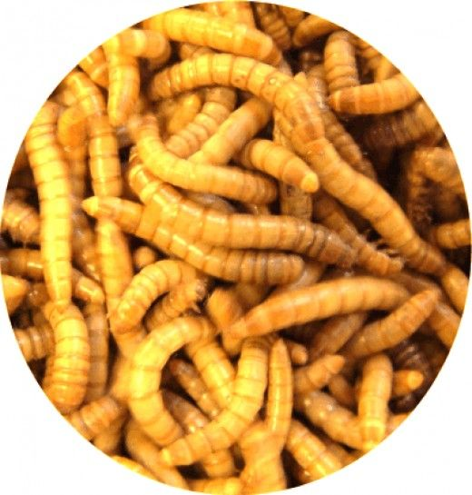 Mealworms are a staple live food for many pet animals, including but not limited to leopard geckos, bearded dragons, chinese water dragons, various tree frogs and frog species, hedgehogs, tarantulas, scorpions, etc. They are not only easy to...