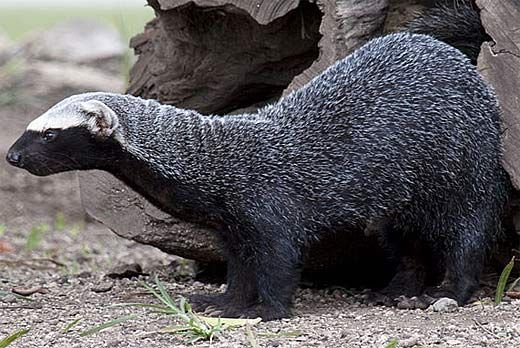 The Greater Grison (Galictis vittata), is a species of mustelid* native to South and Central America. *carnivorous mammals, including otters, badgers, weasels, martens, ferrets, minks and wolverines