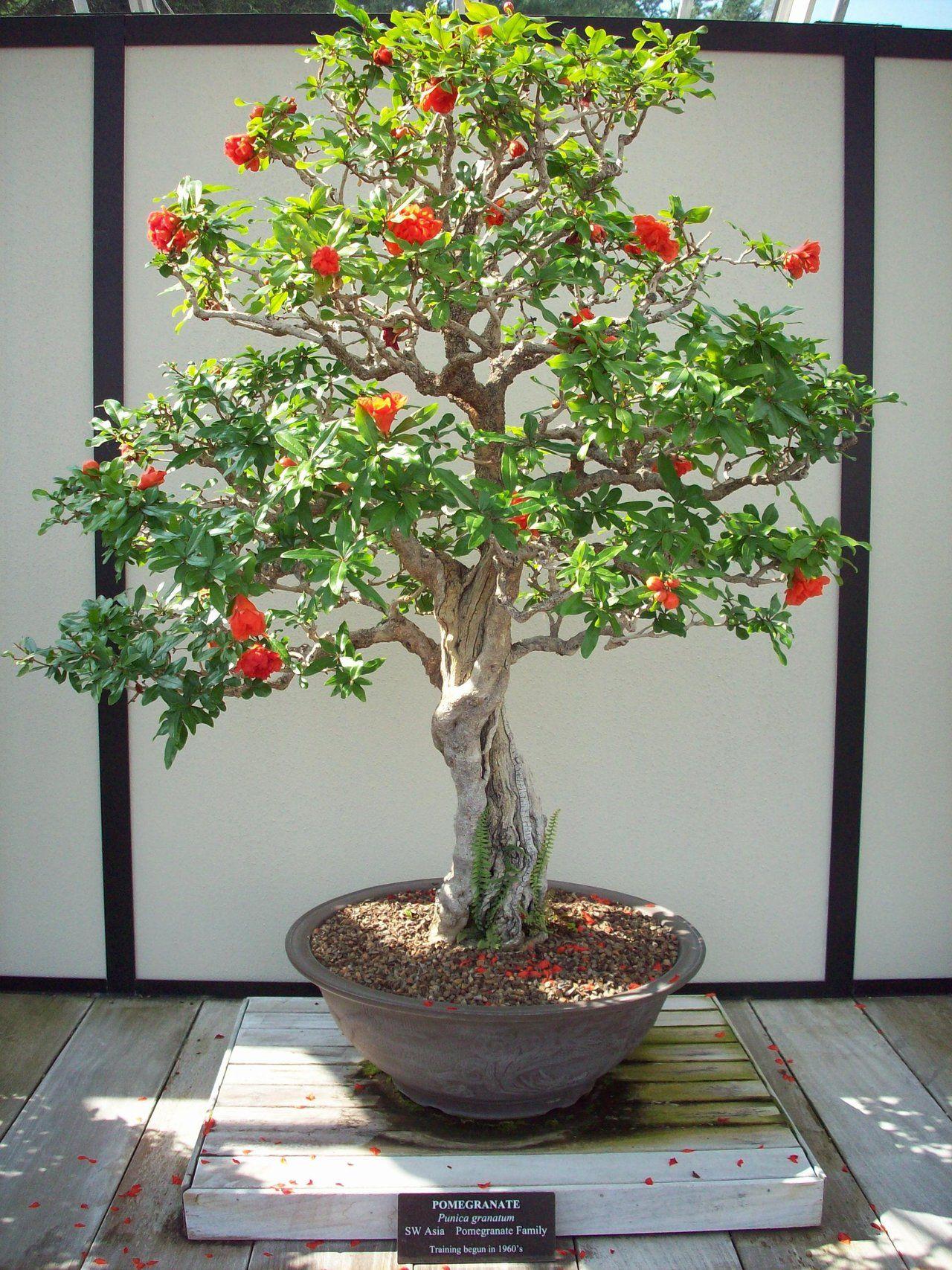 Pomegranate Bonsai By Omega856 On Deviantart Bonsai And Ikebanas