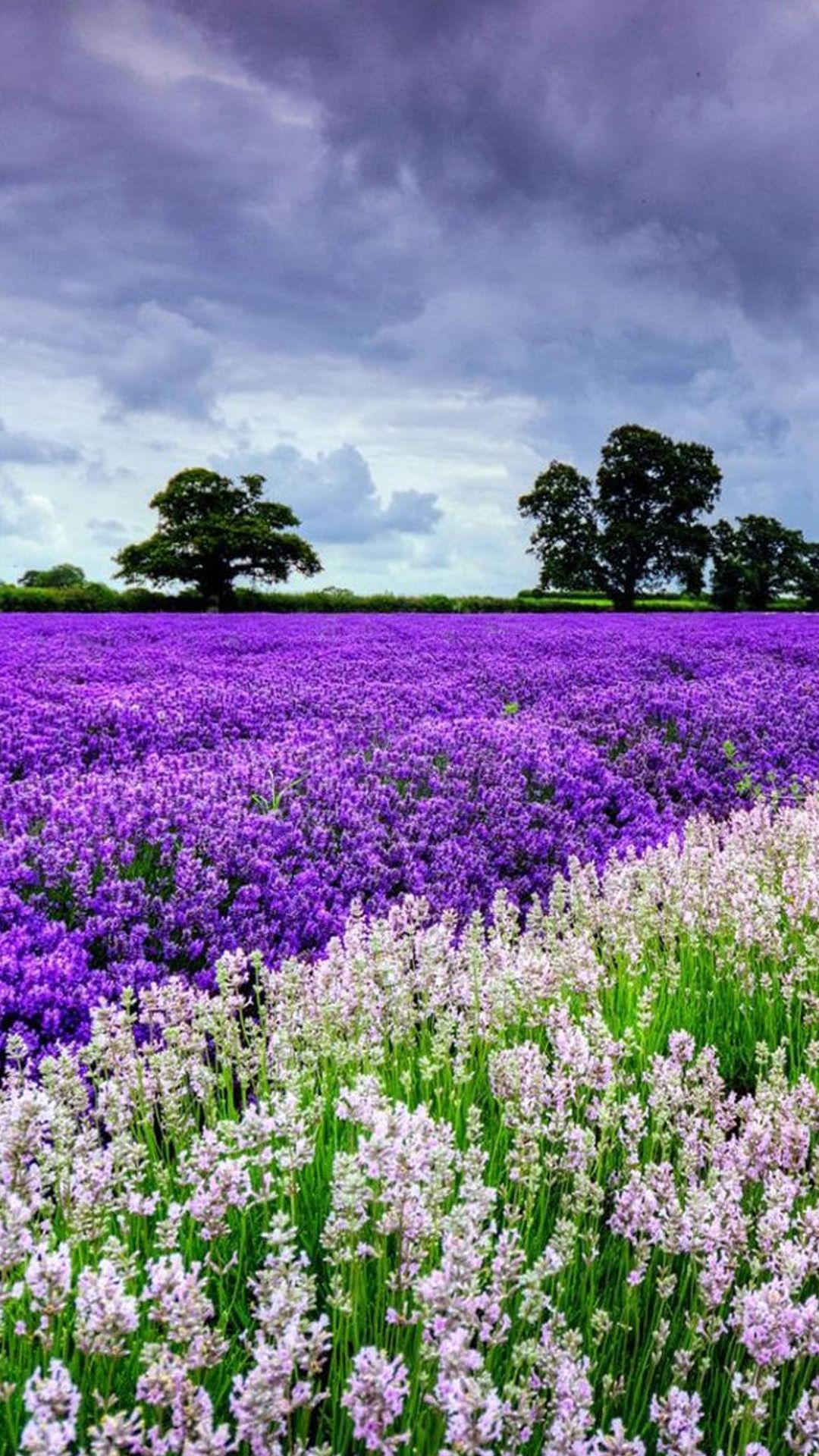 TAP AND GET THE FREE APP! Nature Lavender Field Violet