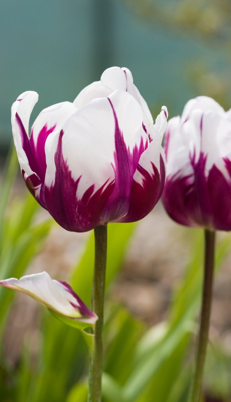 Fabulous Beauty Of Tulip Flowersick On Picture To See More
