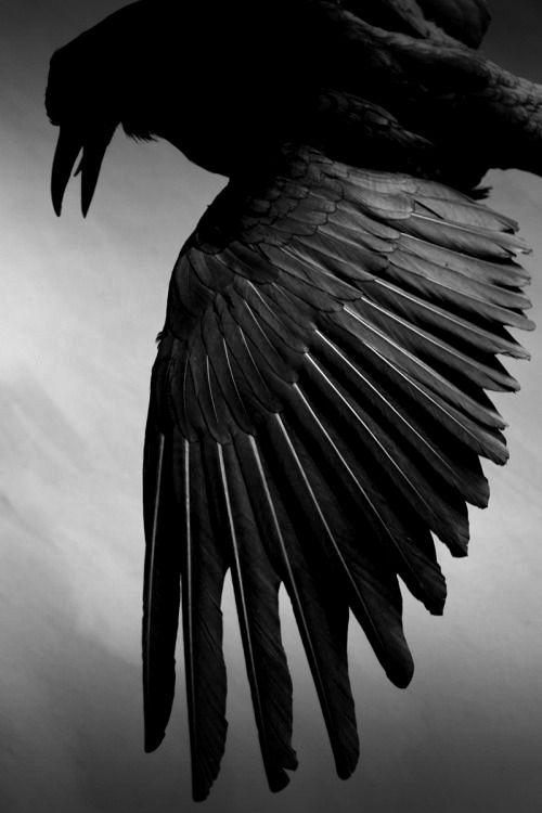 Pin de | l o r r i e t | en Wings | Pinterest | Cuervo, Anatomía ...