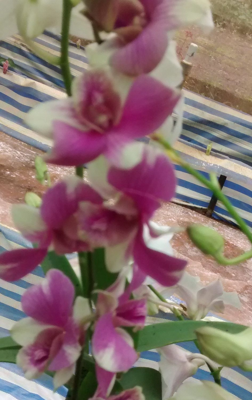 D 210716 10 Orchids And Orchid Flowers Klairvoyant Orchids Thrissur Kerala India Orchid Flower Orchids Plants Online