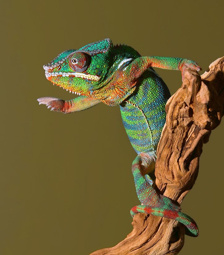 Jackson Chameleon Tattoos: Panther Chameleon By Scott Cromwell On 500px