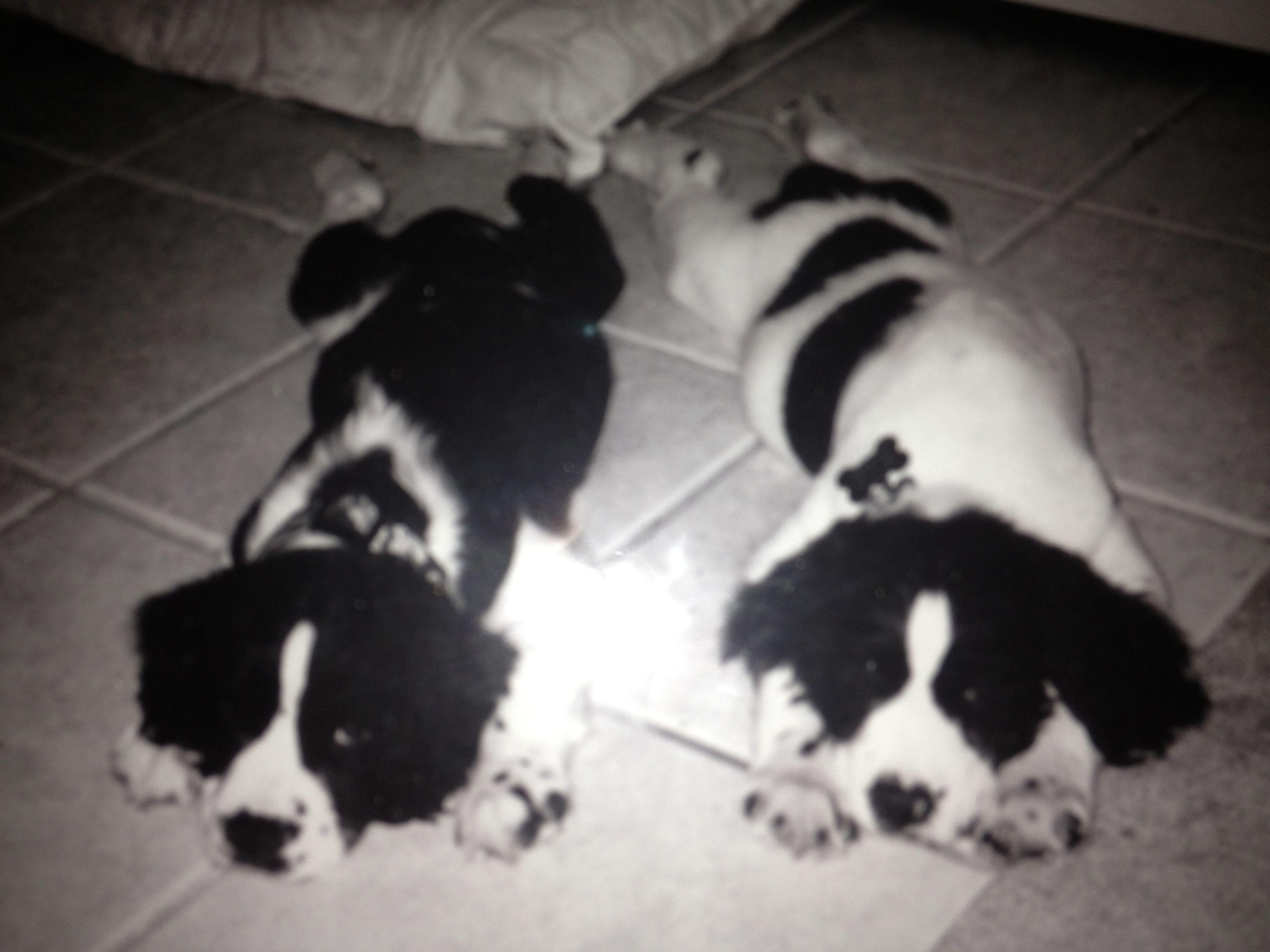 Springer spaniel puppies Cute dog memes, Springer