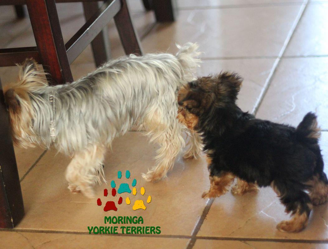 Califorina Happy Yorkie Terrier Moringa Yorkie Teacups Yorkshire Terrier Puppies Yorkie Terrier Yorkshire Terrier Yorkie