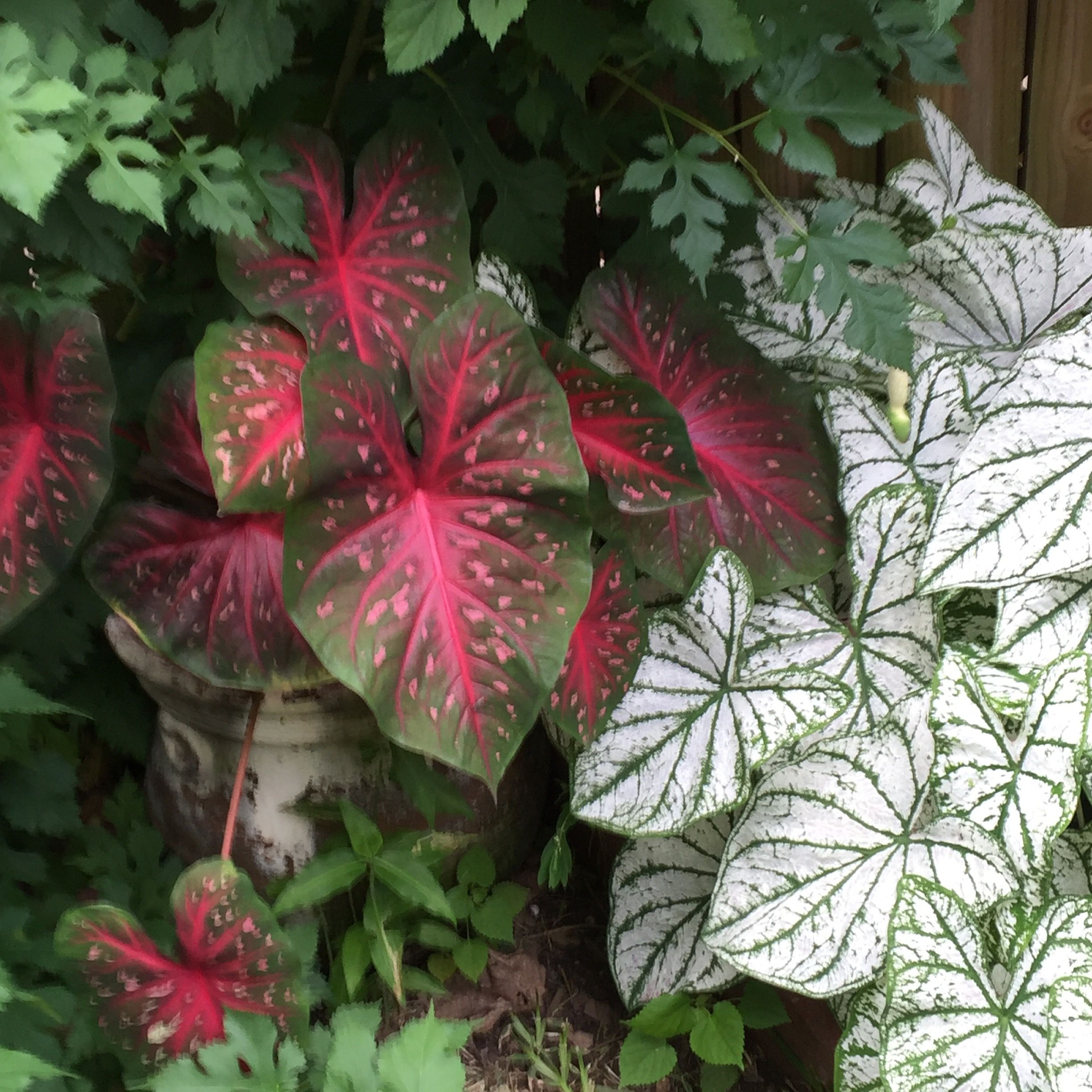 Red flash and white Christmas caladiums White christmas
