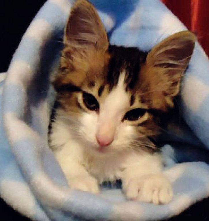 Los gatos y la diabetes | Cuidar de tu gato es facilisimo.com
