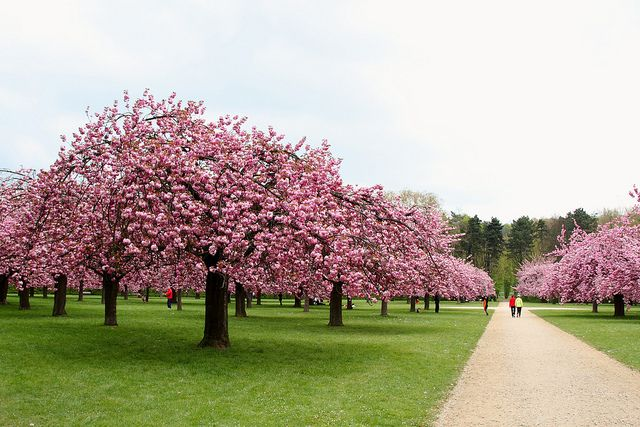 Parc De Sceaux In Spring Cherry Blossoms Spot In France Nature Tree Places To Go Cherry Blossom