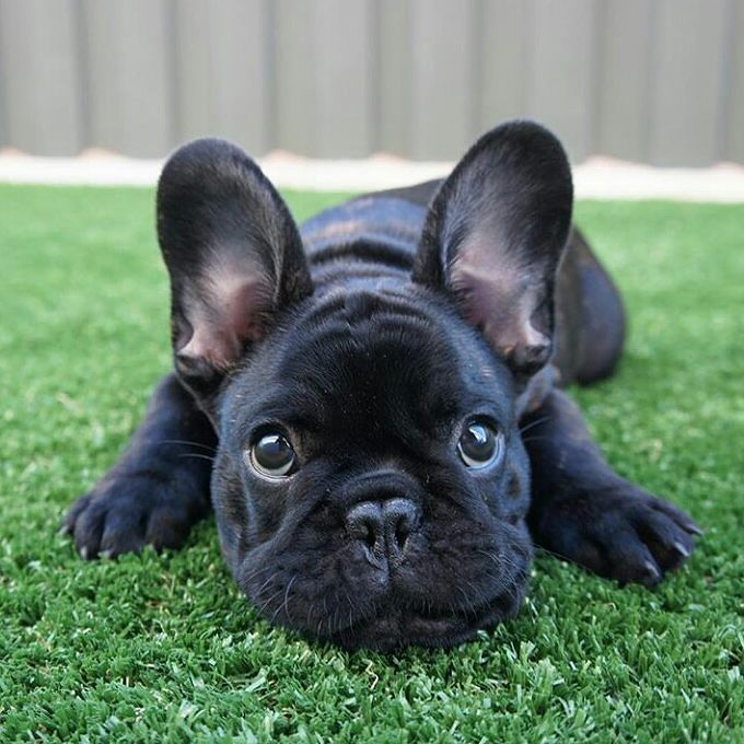 French Bulldogs Seem To Come In All Kinds Of Colors Aren T They