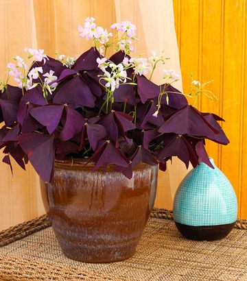 24 beautiful blooming houseplants oxalis grows from small bulbils in the soil you can divide these any time the plant becomes crowded in its pot - Flowering House Plants Purple