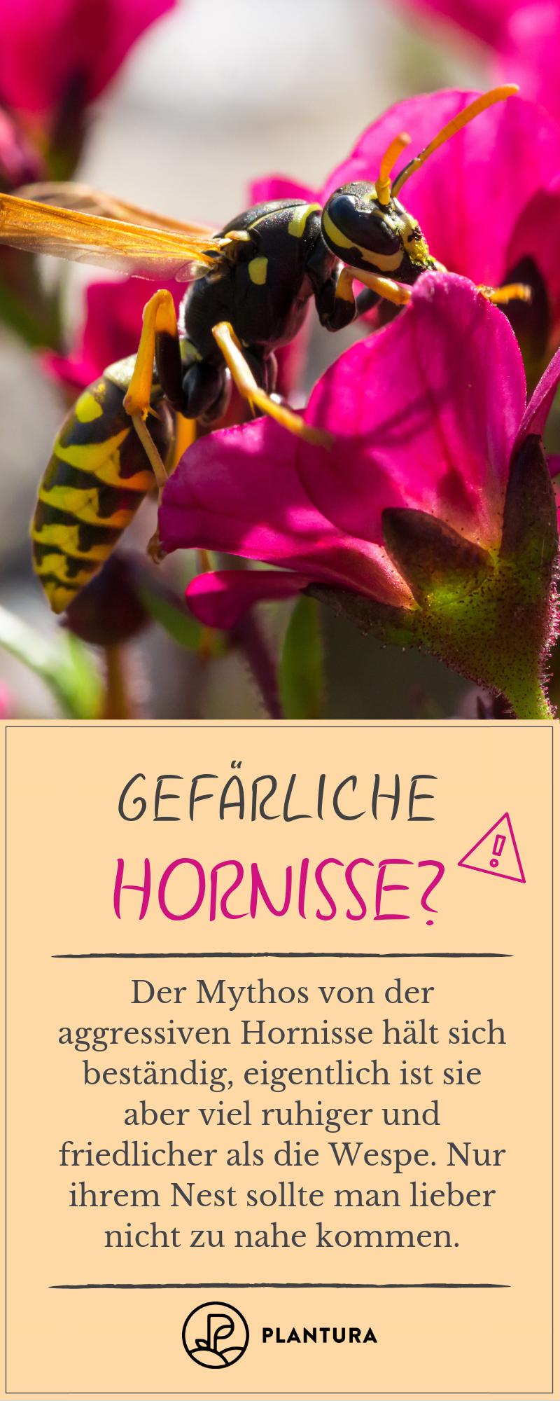 Wie Gefahrlich Sind Hornissen Und Hornissenstiche Wirklich Selbstversorger Garten Pflanzenschutz Gemusegarten Anlegen