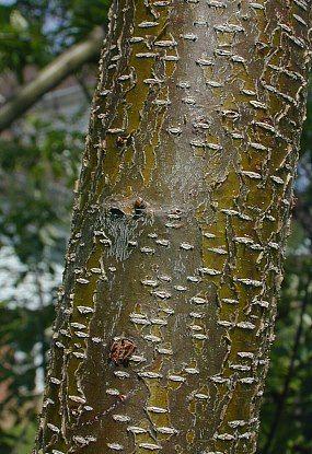 prunus serotina bark -... Prunus Serotina Bark