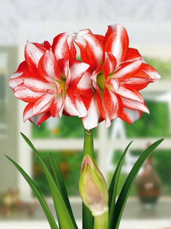 Amaryllis double 39 exotic peacock 39 flowers flower tree for Amaryllis exterieur