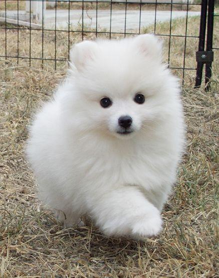 Ball Of Fluff American Eskimo Puppy American Eskimo Dog Cute