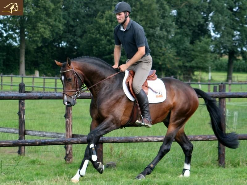 Vallado, KWPN stallion