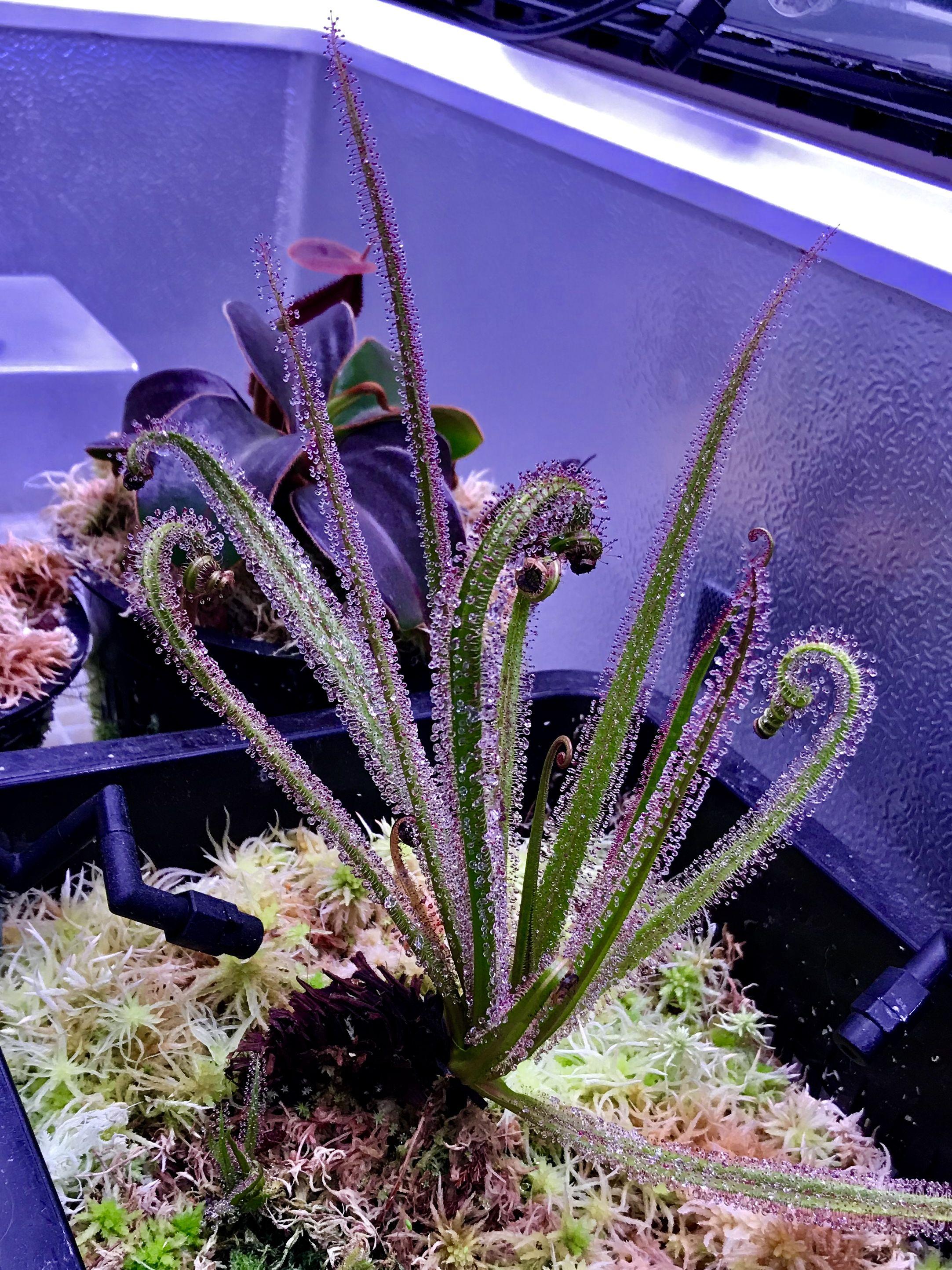 Drosera regia fleischfressende pflanze pflanzen