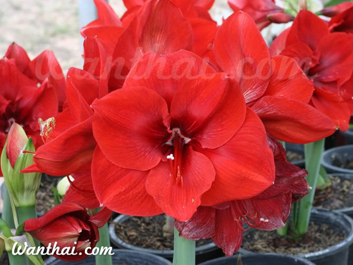 1 flower bulb Hippeastrum Amaryllis Carmen