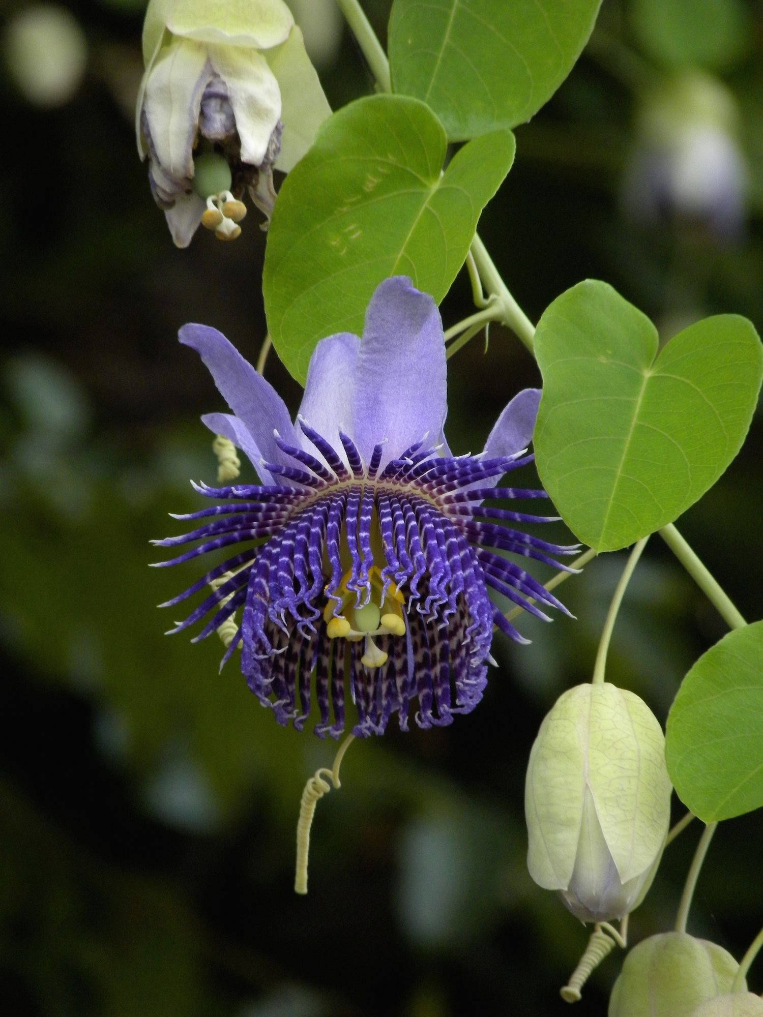 Passiflora Flower Unusual Flowers Rare Flowers Strange Flowers
