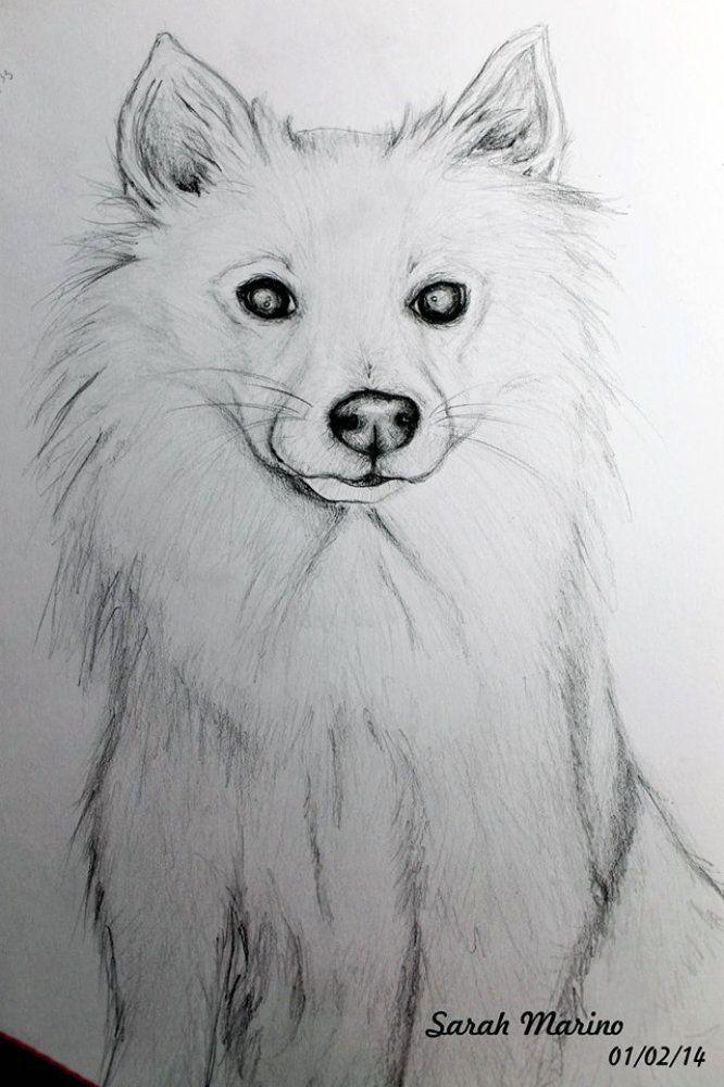 disegni da colorare cane volpino