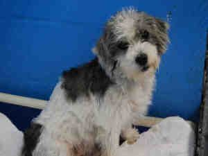 TOTO is an adoptable Border Terrier Dog in Fort Lauderdale, FL.  ...