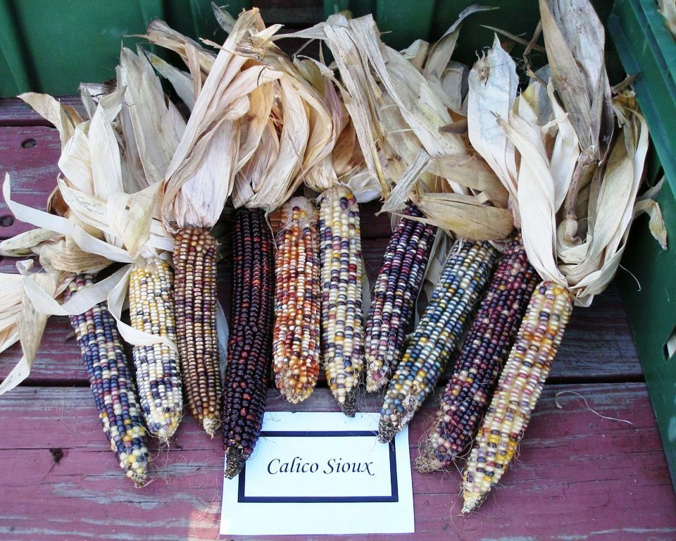 Calico Sioux Corn Indian Corn Popcorn Seeds