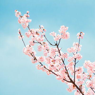 Japanse Kersenbloesem, prachtig tegen een blauwe lucht, het gevoel van de lente