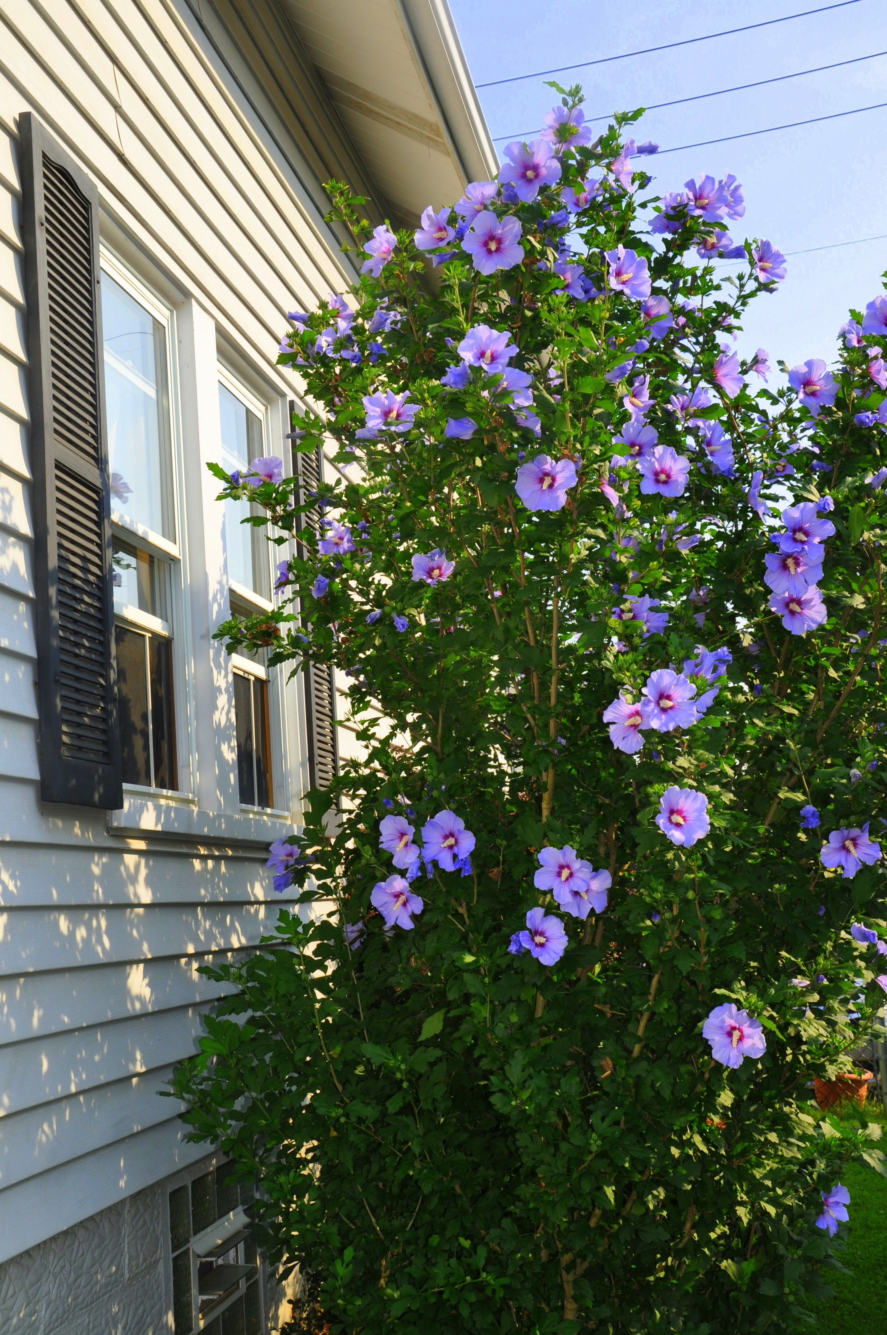 Rose of Sharon Featured at The Creative Home & Garden Hop. | The ...