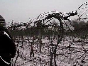 Pruning Concord Grape Vines Grape Vines Prune Grapes