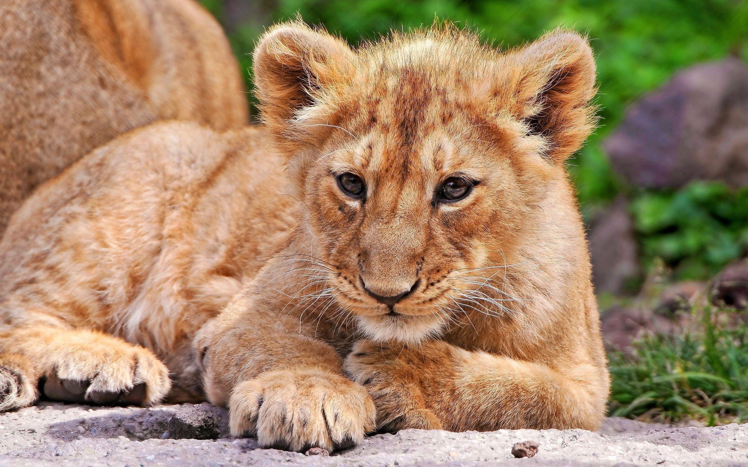 Baby Lion Animals Lions Baby Animals Fresh New Hd Wallpaper Animals Baby Animals Animals Beautiful