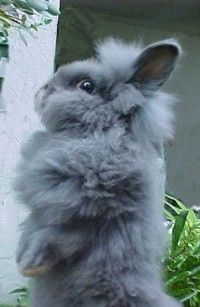 lionhead rabbit reminds me of My old one Mr. Bugglesworth