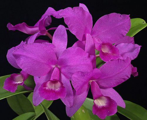 Guaria Morada Cattleya Beautiful Orchids Orchids