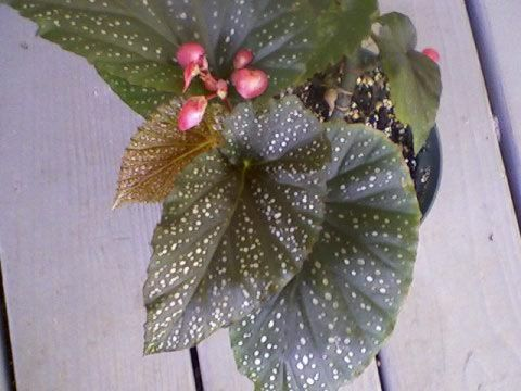 Pink Spotted Angelwing Begonia Victoria S Rare Beautiful Angel