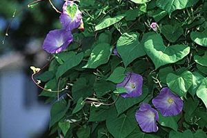Morning Glory Poisonous Plants Plants Rare Flowers
