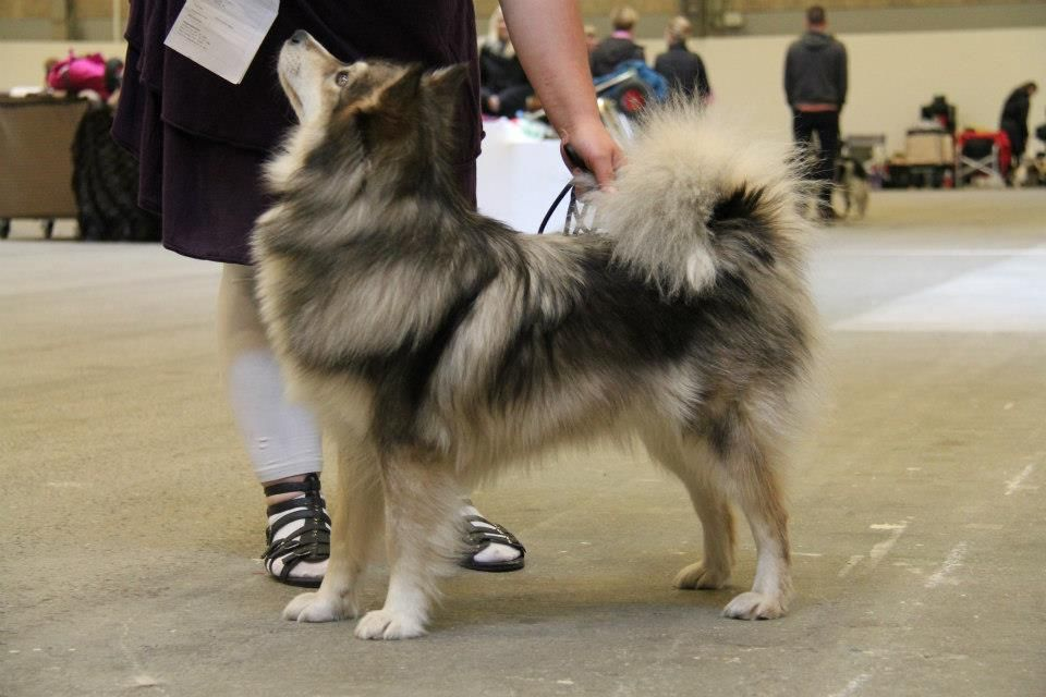 full breed pomeranian pomsky full grown google search dedicated to cute 5217