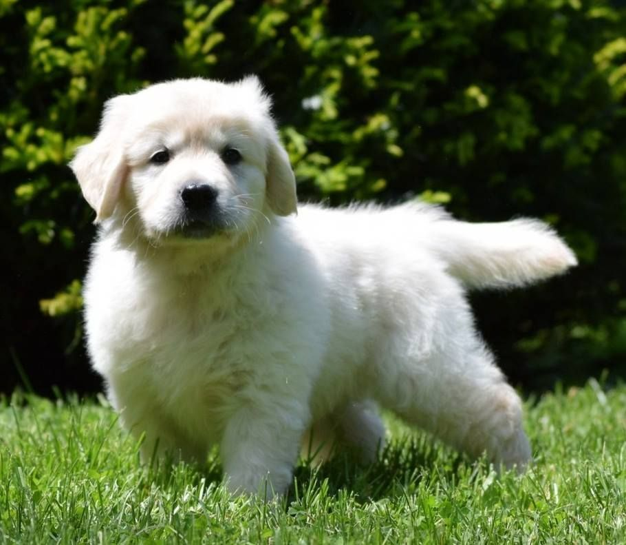 English Golden Retrievers Puppies Are The Cutest And One Of The Most Friendly Breed Of Dogs If You Have Just Bought O Retriever Puppy Golden Retriever Puppies