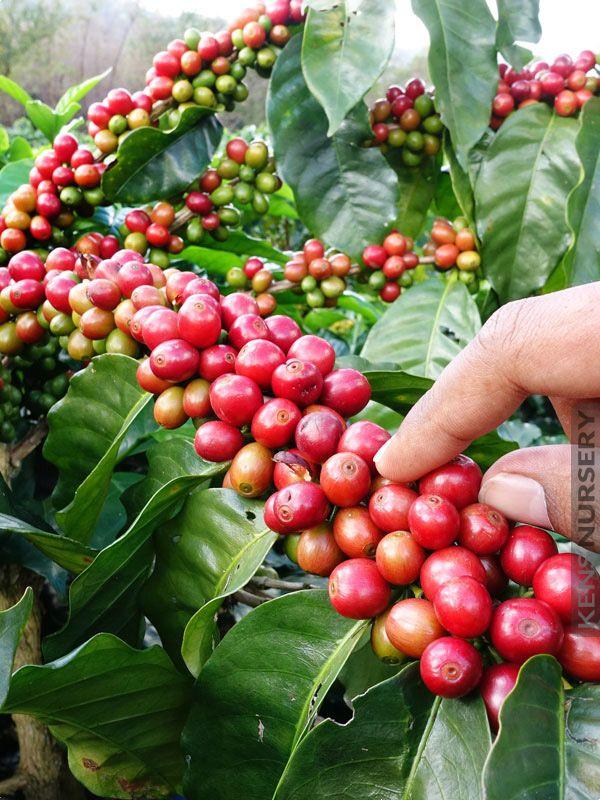 Coffee Arabica Plant Cof Ara Coffea Arabica Coffea Coffee Plant
