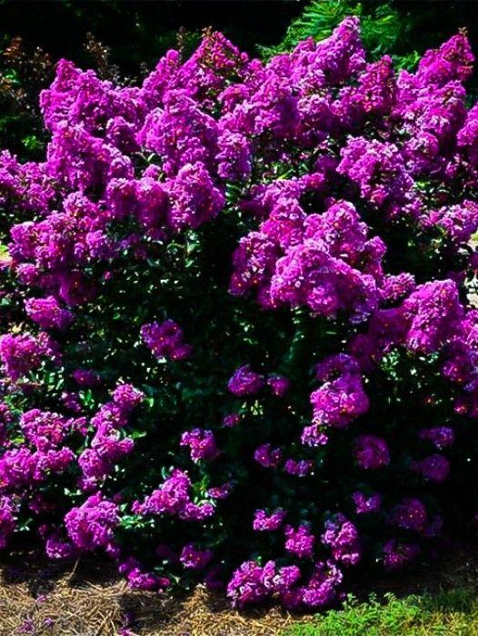 Purple Velvet Crape Myrtle   Google Search