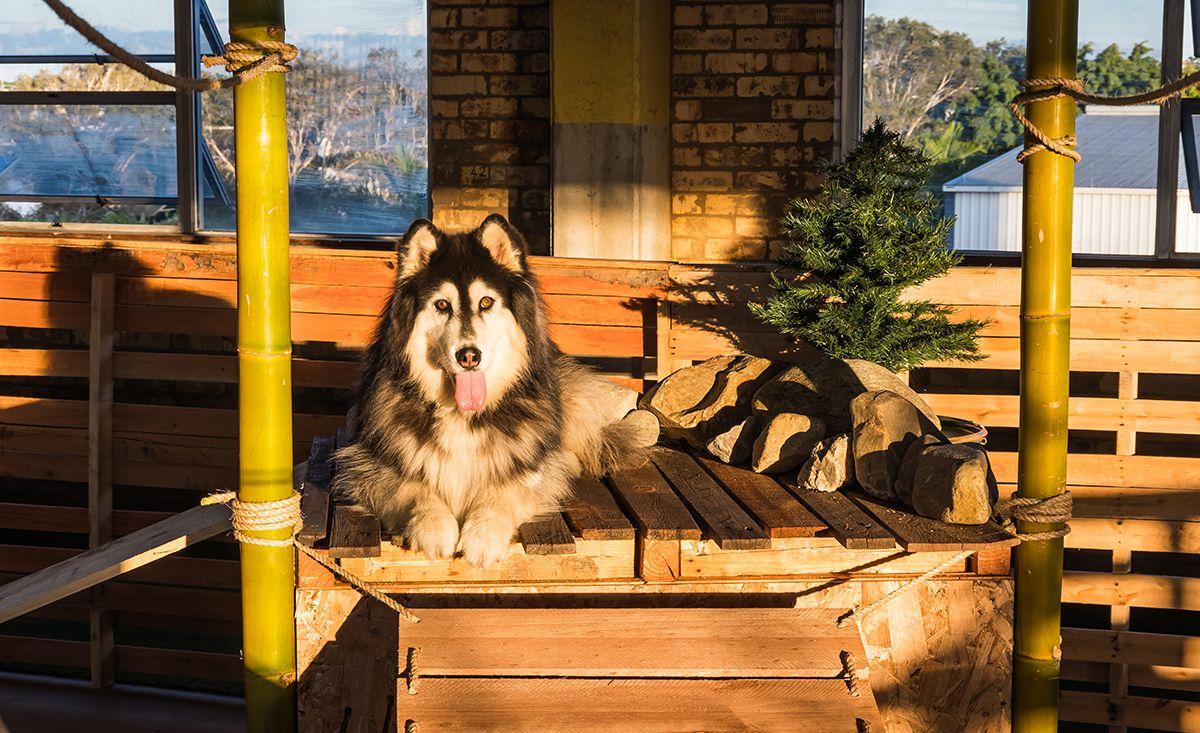 Wolfhouse Dog Daycare & Adventure Campus Australian Dog