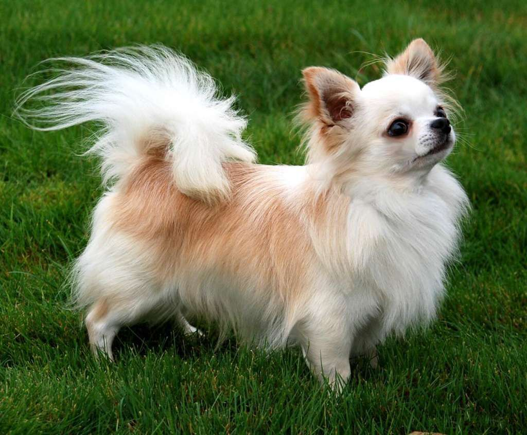 Cutest Long Haired Chihuahua Pictures Cute Pictures Of Long Haired